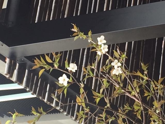 春の兆し II 桜咲く